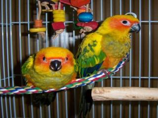 Adorable Sun conure parrots for sale