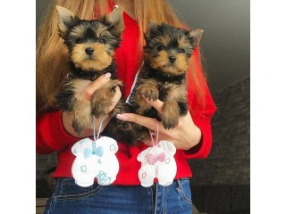 Cute and Adorable Teacup Yorkie puppies available