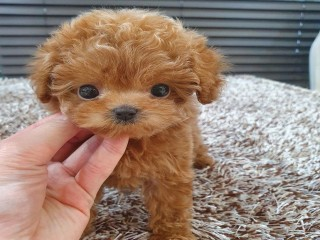 Potty Trained Male and female Toy Poodle Puppies available