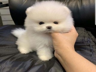 Awesome Teacup pomeranian puppies for sale