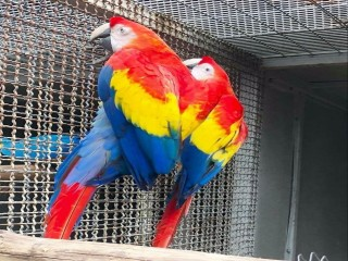 Beautiful and Talking Scarlet Macaw For Sale
