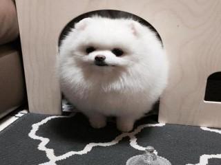Micro Cute Teacup Teacup Pomeranian Puppies For sale.